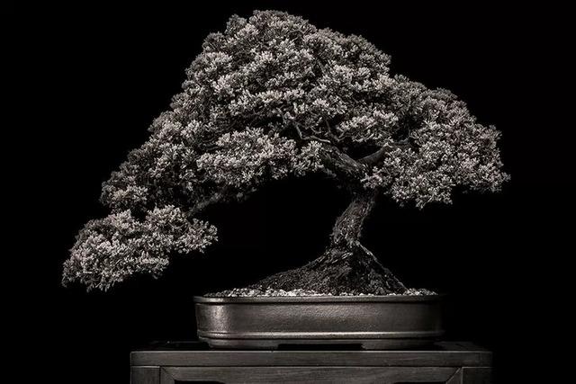 Misty Moon Bonsai Pruning